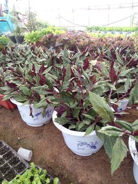 【济西农场】盆栽蔬菜——紫背天葵 单盆
