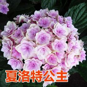 【花粉组团】绣球品种无尽夏、洛特、惠子(苗圃预定,装到后统一通知)