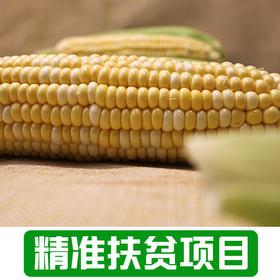 【雅谷山】农家玉米10根装