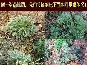 【济西农场】野生茵陈茶
