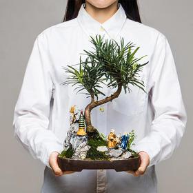 绿居植物罗汉松精致造型盆栽盆景室内绿植花卉办公室植物送礼礼品