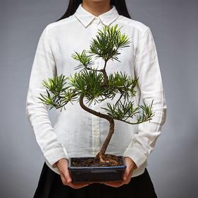 绿居植物罗汉松盆栽小盆景 室内绿植花卉家居办公室植物 送礼礼品