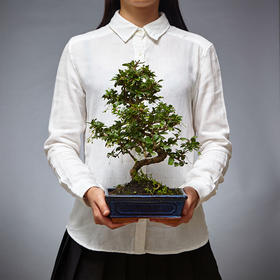 绿居植物茶花盆景室内小绿植花卉盆栽办公室植物送礼年货礼品