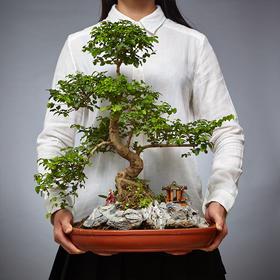 绿居植物山紫甲造型盆景盆栽室内绿植花卉办公室植物送礼年货礼品