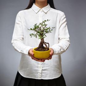 绿居植物榆树小盆景 室内绿植小盆栽办公室家居植物送礼年货精品