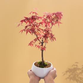 绿居植物 红枫盆栽盆景 室内绿植花卉办公室植物送礼精品礼品