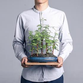 绿居植物水杉盆栽室内小绿植花卉盆景办公室植物送礼礼品