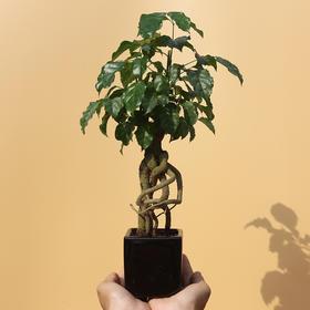 绿居植物绿宝小盆栽盆景 室内绿植花卉办公室植物 送礼礼品
