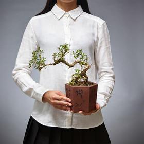 绿居植物满天星六月雪造型盆景室内绿植花卉盆栽植物送礼年货礼品