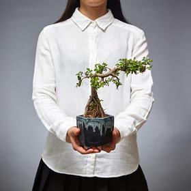 绿居植物榆树造型盆景室内绿植花卉盆栽植物送礼年货礼品精品