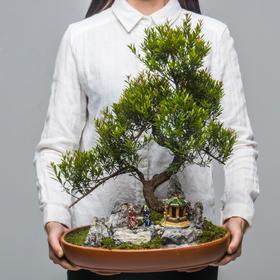 绿居植物红杨造型盆景盆栽 室内绿植花卉办公室植物 送礼年货礼品