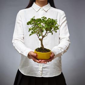 绿居植物山紫甲盆栽小盆景 室内绿植家居办公室植物送礼精品