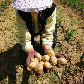 1800米深山恩施富硒土豆【不打农药 天然富硒  粉沙糯香 200年不变的品种 纯净如同百年前】