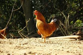 生态河田阉鸡(270-300天)4.3-4.8斤毛重