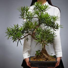 绿居植物罗汉松盆栽大盆景 室内绿植花卉办公室植物 送礼礼品