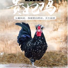 贵妃阉鸡(240-300天)