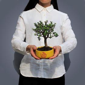 绿居植物金枝玉叶小盆景室内绿植花卉盆栽植物礼品
