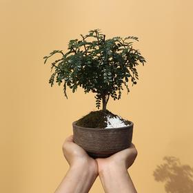 绿居植物胡椒木清香木小盆栽室内绿植盆景绿色办公室花卉植物礼品