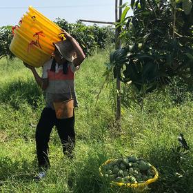 广西小台农芒果 来自芒果之乡亲切的问候  优选产地 精挑细选 5斤