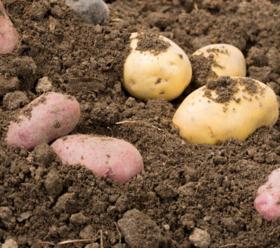 帮卖精选 | 竹溪土豆 原生态现挖现发 黄皮黄心x红皮红心 土豆届的双子星 5斤一份