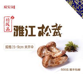 预售 松茸 雅江出口级野生鲜松茸1斤装/2斤装 顺丰包邮