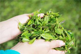 【特惠】圣园春2019年日照绿茶优惠第一波!60元一斤!买3斤送半斤,买5斤送1斤!