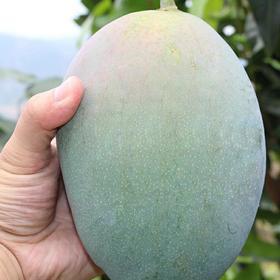 新鲜水果四川攀枝花凯特大芒果10斤