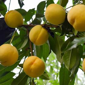 【黄金蜜桃4.5斤】 颜值担当,汁甜如蜜