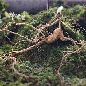 「新鲜林下参」唯一可以与野山参媲美,每年都要吃的人参