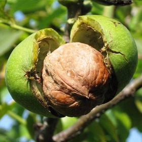 【攀枝花去皮鲜核桃】48.8元5斤包邮!新鲜、醇香、脆爽、营养丰富!攀枝花新鲜核桃,吃了就让你爱上它!