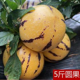 【石林人参果圆果5斤】| 果肉肥厚,皮薄多汁