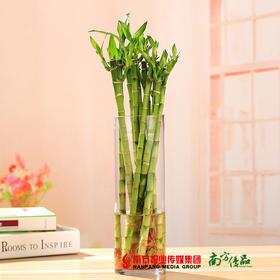 【净化空气】开运竹(10枝) 水培植物