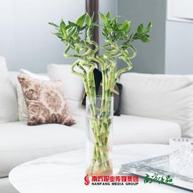 【净化空气】转运竹(10枝) 水培植物
