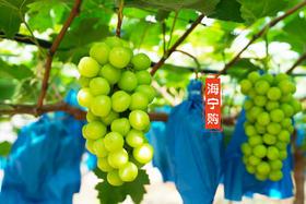 【海宁购·寻美食】网红品种晴王葡萄来了,3斤装,超甜