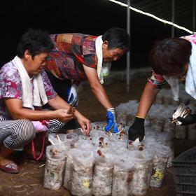 【助农扶贫】清丰县茶树菇,纯人工养殖,天然无硫,鲜嫩爽口,气味浓郁