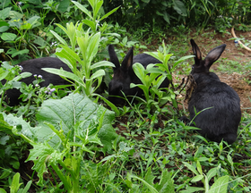 闽西特产通贤乌兔(保鲜兔  约3.3斤)