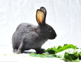 闽西特产通贤乌兔(保鲜满月兔)