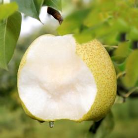 知农|精选蒲城酥梨新鲜水果现摘现发4.8斤到5.2斤,郁香爽口,多汁酥脆