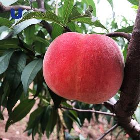 半岛优品   来自丹东的燕红桃 宽甸河口燕红桃