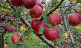 大凉山盐源丑苹果 新鲜采摘,买5斤送3斤,共计8斤。