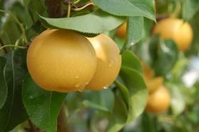 【莱西秋月梨】莱西特级秋月梨大果5斤装(6个左右)/肉质细脆/汁多味甜/清香爽口