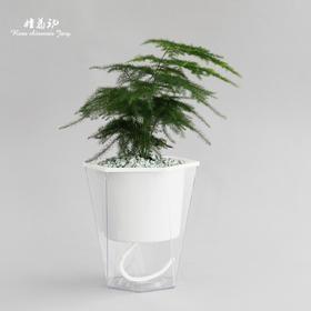 文竹 | 透明吸水盆花卉绿植盆栽 室内居家阳台桌面办公室除甲醛净化空气