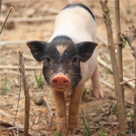 香猪  年猪预定 18个月极致野化散养