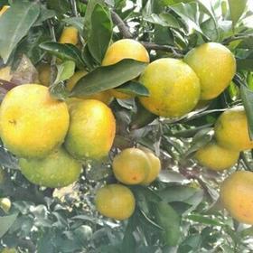 宜昌蜜桔当季时令新鲜孕妇水果柑橘5斤 薄皮酸甜桔子橘子现摘现发