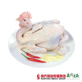 【鲜嫩细腻】一号土鸡优质鸡种  1只  1.8-2斤