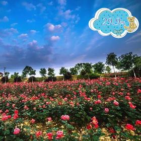 七彩玫瑰海盛开了,云朵邀你畅玩花海,还可以免费体验梦幻飞屋!