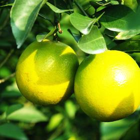 澄迈福橙 | 地理标志产品 硒含量是其他水果的5倍 味香清甘 口感爽津