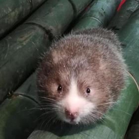 【爱心扶贫】儋州富星果菜农民专业合作社人工养殖的竹狸