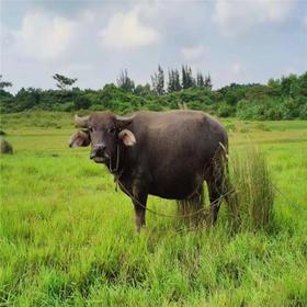 【爱心扶贫】文昌贫困户陈加德的农家放养水牛(不支持线上交易)