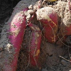 【爱心扶贫】澄迈桥头沙土甘薯地瓜专业合作社的桥头地瓜